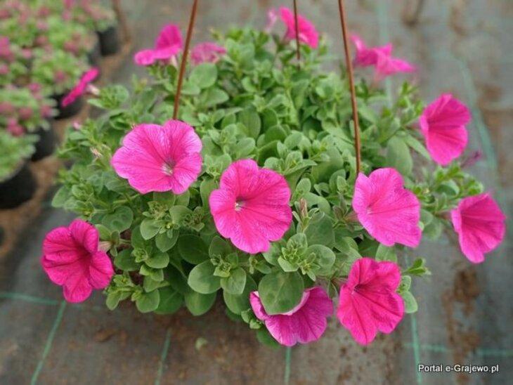 Kwiaty letnie - Brzozowa 7