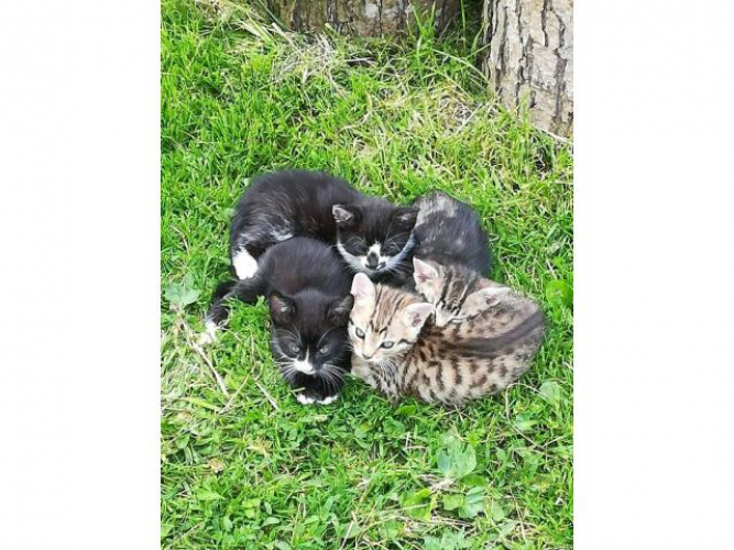 Grajewo ogłoszenia: Oddam 10 tygodniowe kotki w dobre ręce. Zainteresowane osoby...