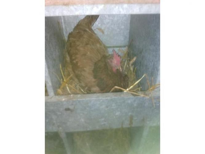 Grajewo ogłoszenia: Sprzedam wiejskie jajka od młodych kur cena za sztukę 0,70