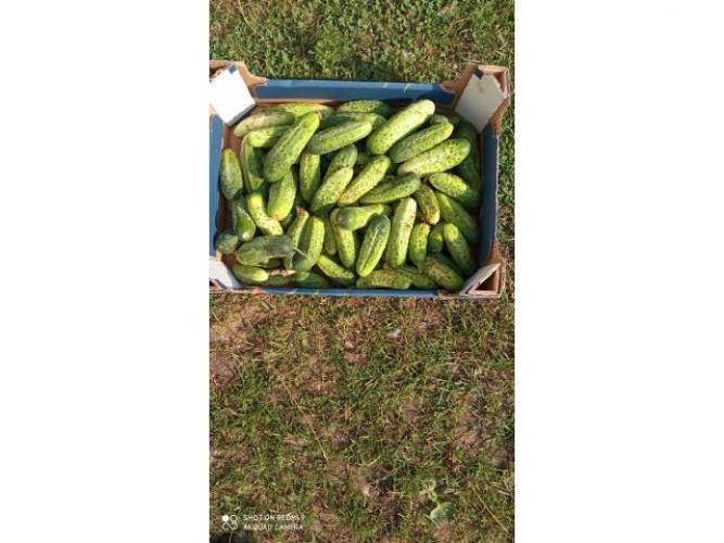 Grajewo ogłoszenia: Sprzedam ogórki gruntowe z własnego gospodarstwa.Bardzo dobre...