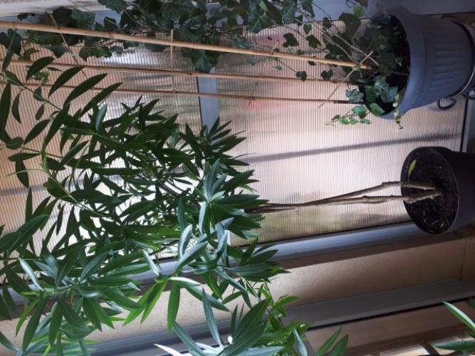 Grajewo ogłoszenia: Piękny zdrowy oleander. Prowadzony w formie drzewka .  Ma 2 metry...