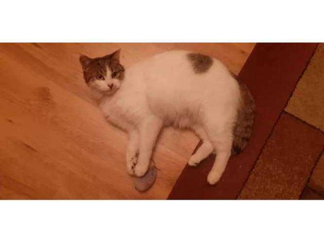 Grajewo ogłoszenia: Witam, szukam kota, który zgubił się w okolicach ulicy Rolnej,...