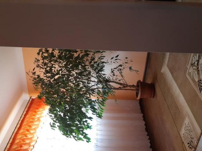 Grajewo ogłoszenia: Sprzedam  kwiat drzewko beniaminek idealny do salonu