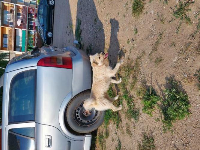 Grajewo ogłoszenia: Pies przebywa w okolicy bloków 63-67 na osiedlu Południe....