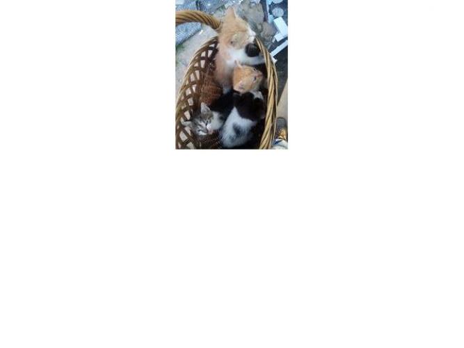 Grajewo ogłoszenia: Oddam w dobre ręce koty 2 rude , 1 biało czarny  i jeden bury