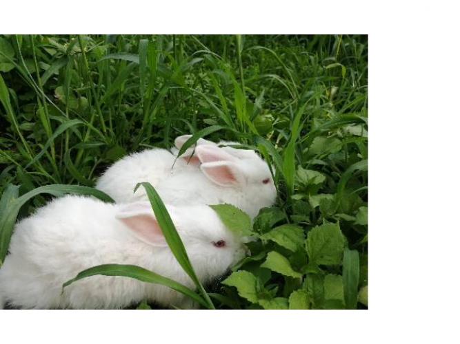 Grajewo ogłoszenia: Witam sprzedam 3 czysto rasowe króliki nowozelandzkie białe w...