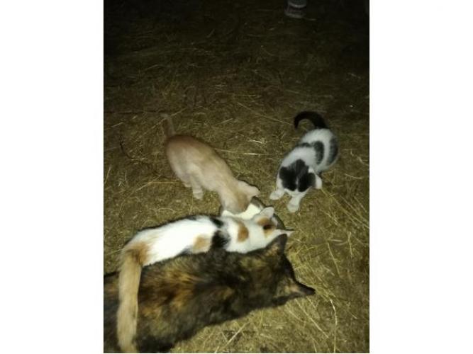 Grajewo ogłoszenia: Mam do oddania kociaki. Trójkolorowy to kotka, a rudy to kot.