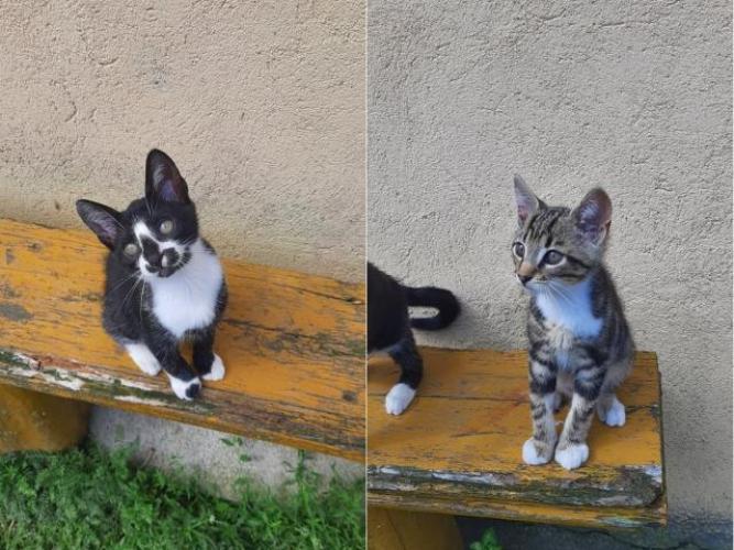 Grajewo ogłoszenia: Oddam 11 tygodniowe kotki w dobre ręce (bury kocur, czarna kotka)....