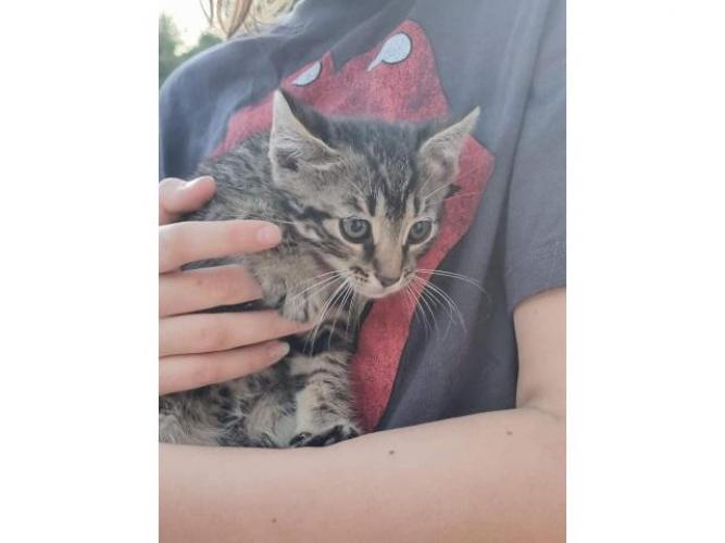 Grajewo ogłoszenia: Mały kociak do oddania w dobre ręce.  Kto pokocha maleństwo...
