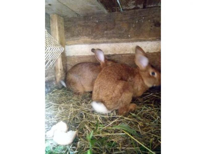 Grajewo ogłoszenia: Sprzedam króliki mieszańce 3 dorosłe samice i 2 samce Oraz...