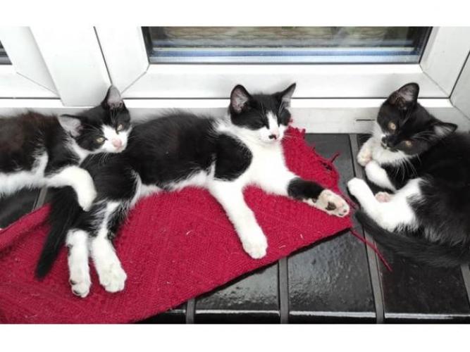 Grajewo ogłoszenia: Witam Oddam kotki 2-miesięczne w dobre ręce. 2 kotki i 1 kot.