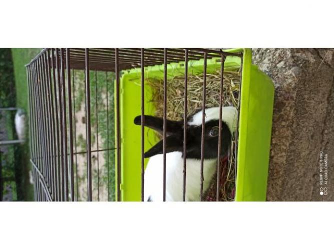 Grajewo ogłoszenia: Witam oddam królika miniaturkę, oddaje z powodu alergii syna...
