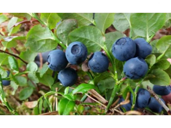 Grajewo ogłoszenia: Mamy na sprzedaż świeże leśne jagody, codziennie zbierane, bez...