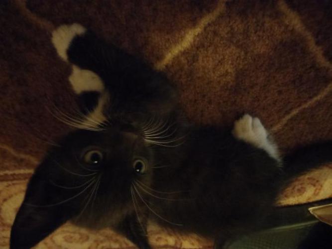 Grajewo ogłoszenia: Witam oddam koty płci męskiej w dobre ręce kotki mają 4 tygodnie