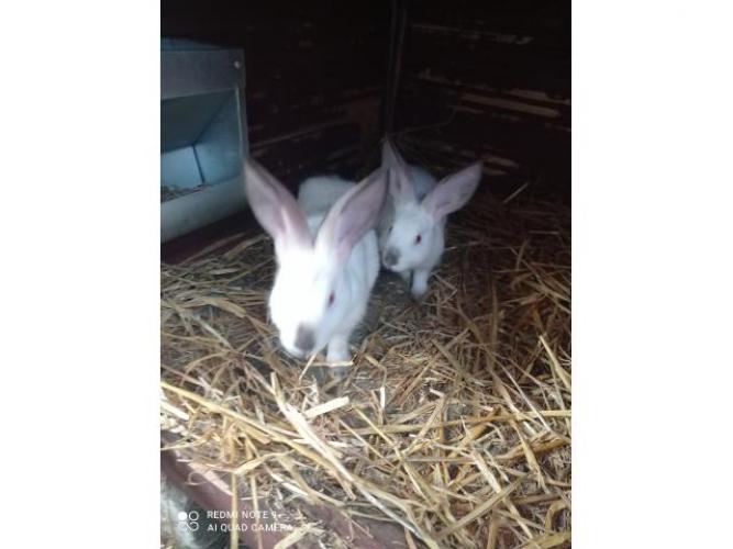 Grajewo ogłoszenia: Sprzedam króliki kalifornijskie dwumiesięczne za 20 zł więcej...