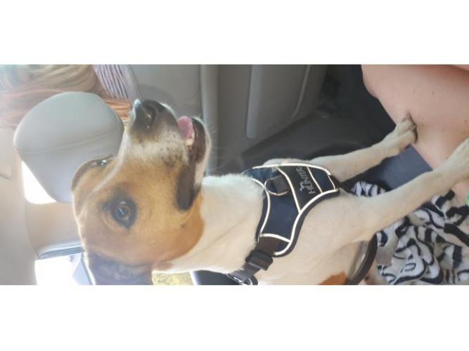 Grajewo ogłoszenia: Zaginal piesek rasy Jack Russel Terrier o imieniu Milo