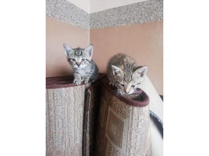 Grajewo ogłoszenia: Witam. Mam do oddania 2 koty oraz kotkę. Zostały porzucone w...