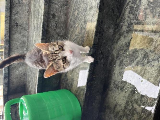 Grajewo ogłoszenia: Oddam roczna kotkę. Oswojona i przyjazna. Stałe odrobaczana