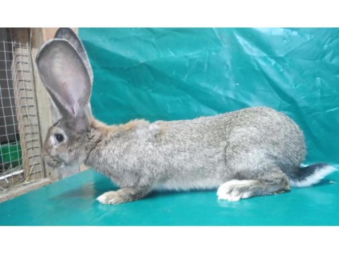 Grajewo ogłoszenia: Sprzedam króliki rasowe , większość po rodowodowych rodzicach ....