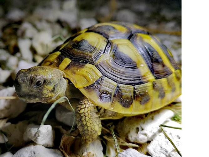 Grajewo ogłoszenia: Odkupię żółwia,młody lub starszy.Prosze o kontakt.