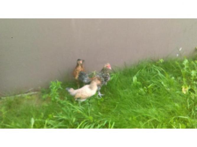 Grajewo ogłoszenia: Sprzedam kurczaki rajskie