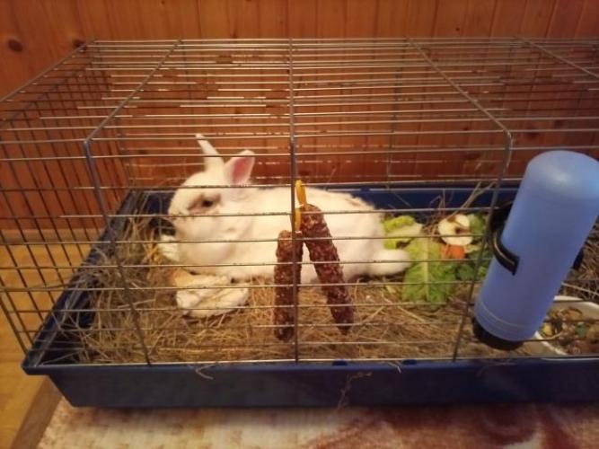 Grajewo ogłoszenia: Sprzedam królika bardzo łagodny i sympatyczny wychowany  przy...