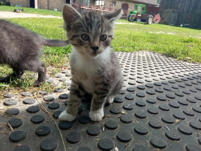 Grajewo ogłoszenia: Oddam 3 kotki w dobre ręce. Mają miesiąc i były od narodzin...
