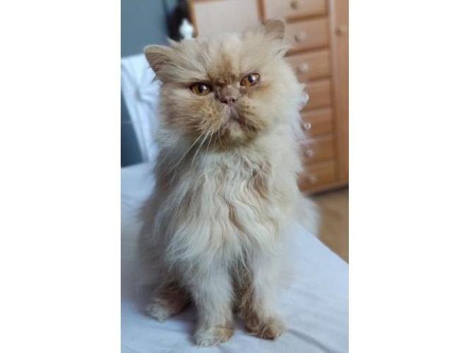 Grajewo ogłoszenia: 07.09 wieczorem, w okolicy Osiedla Południe zniknął kotek....