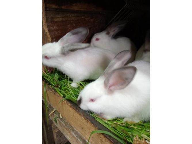 Grajewo ogłoszenia: Sprzedam młode króliki kalifornijskie po 30 zł wiek ok 3miesiace...