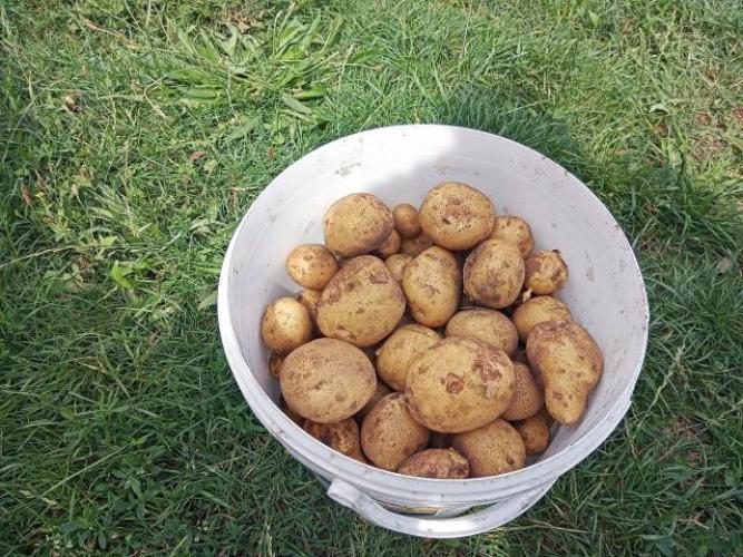 Grajewo ogłoszenia: Ziemniaki / odmiana owacja ziemniaki te są bardzo dobre na placki,...