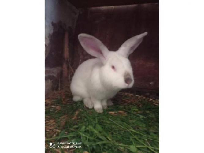 Grajewo ogłoszenia: Sprzedam króliki kalifornijskie za 100 zł cena za sztukę więcej...