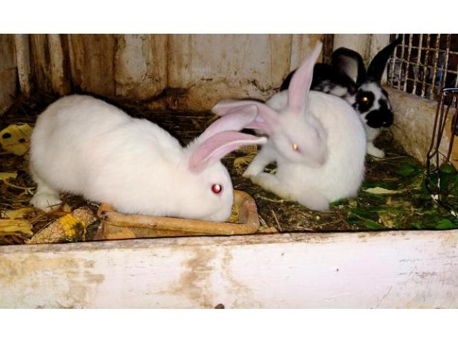 Grajewo ogłoszenia: Witam Mam króliki. Szczegóły i inne informacje pod numerem...