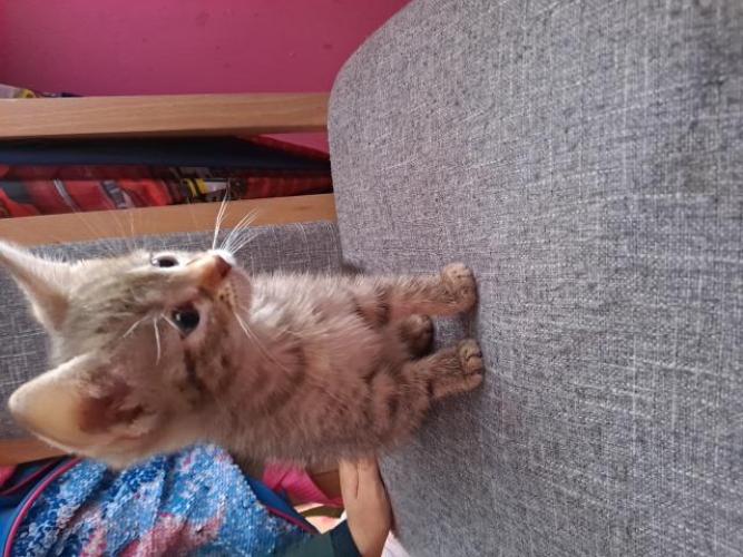 Grajewo ogłoszenia: Witam oddam kotke w dobre ręce Kotka ma 8 tyg sama już je, jest...