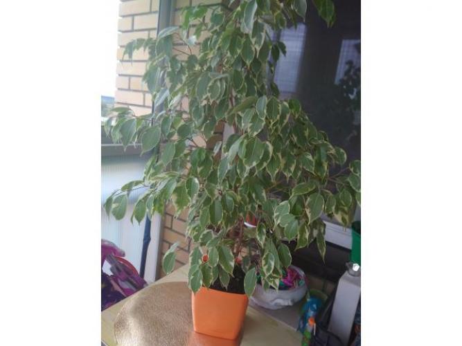 Grajewo ogłoszenia: Sprzedam dużą roślinę. Kwiat zdrowy Figowiec benjamina biały...