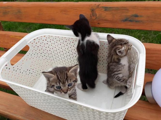 Grajewo ogłoszenia: Oddam trzy kotki w dobre ręce.  Nr telefonu  693637353.