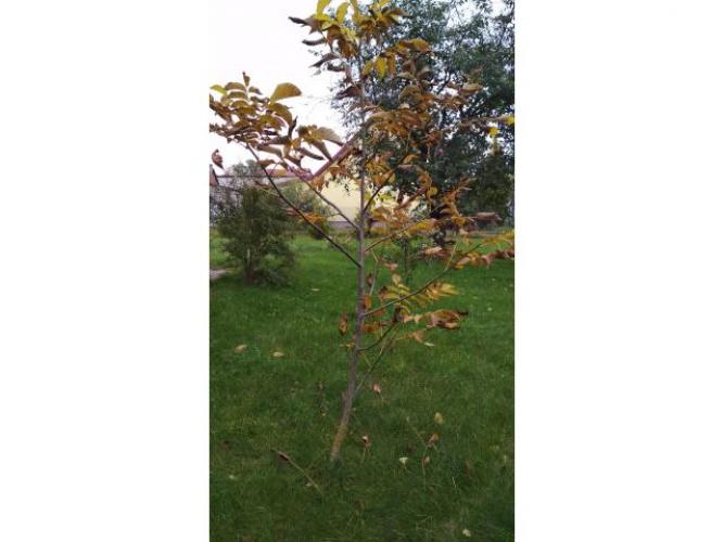 Grajewo ogłoszenia: Sprzedam drzewko orzecha włoskiego, ok. 2,5 m wysokości.
