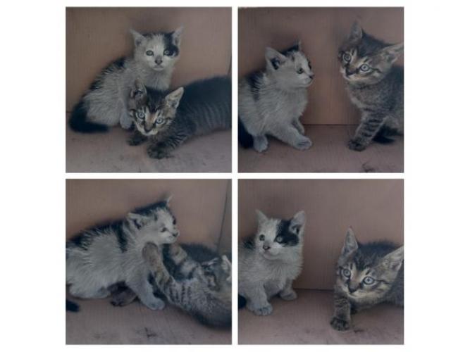 Grajewo ogłoszenia: Oddam dwa siedmiotygodniowe kociaczki