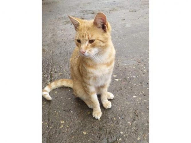Grajewo ogłoszenia: Zaginął kot. Prawdopodobnie został wywieziony. Jeżeli błąka...