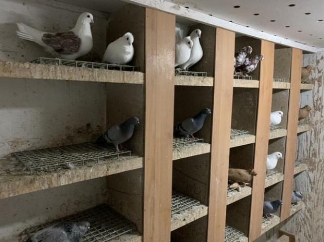 Grajewo ogłoszenia: Sprzedam gołębie, szczegóły tel.