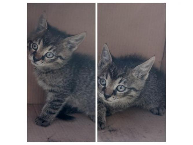 Grajewo ogłoszenia: Oddam kotka - ostatni z super piątki , ma 7,5 tygodnia.