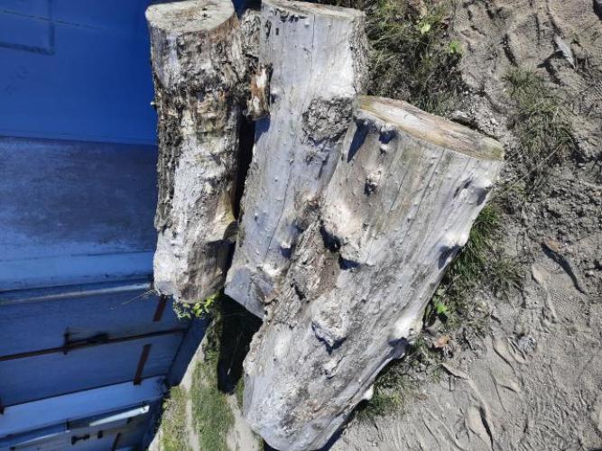 Grajewo ogłoszenia: Oddam drewno 4 kloce po okolo 1.5 m średnica około 0.5 m. Odbiór...