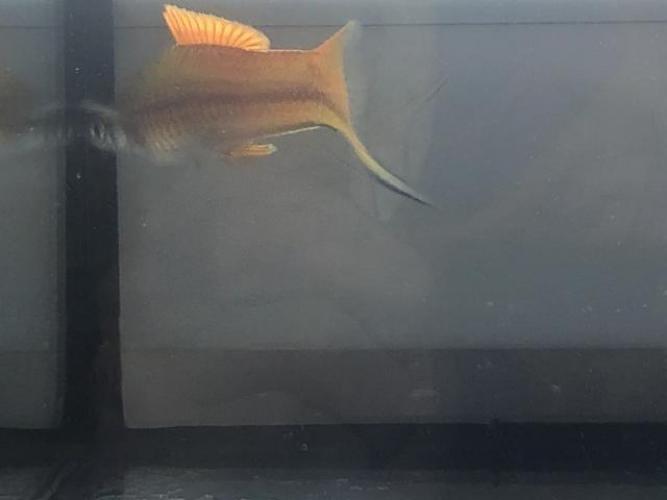 Grajewo ogłoszenia: Witam. Mam na sprzedanie około 50 szt mieczykow. Są to duże ryby...