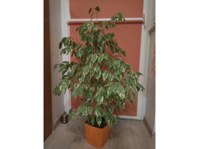 Grajewo ogłoszenia: Sprzedam dużą roślinę. Kwiat zdrowy Figowiec benjamina biały z...